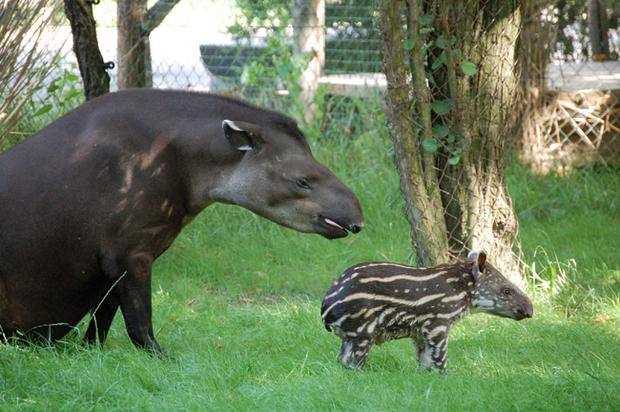 An adult tapir pictured with a calf