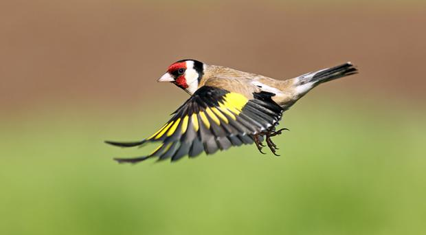 Goldfinches can be seen at the RSPB reserve
