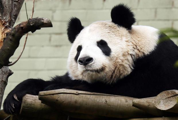 Edinburgh Zoo's giant panda, Tian Tian, in her enclosure today as she has been put on 24-hour surveillance after the latest hormone tests revealed she could be pregnant.