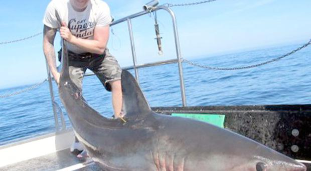 The big shark was taken on a live cod bait by Drew Nelson from Carrickfergus Specimen Hunters and weighed in at well over the 200lb mark!