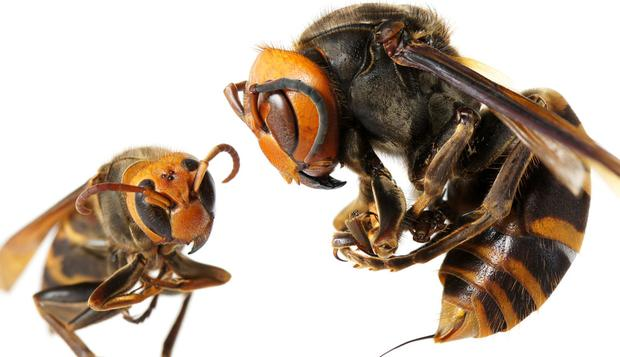 Hundreds have suffered from anaphylactic shock and renal failure after being stung by hornets