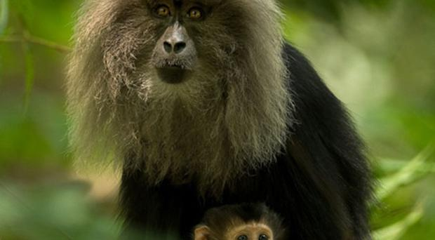 Softly, softly, catchee monkey: Lion-tailed macaques have a distinctive grey mane around their faces. Image: Kalyan Varma/Wikipedia