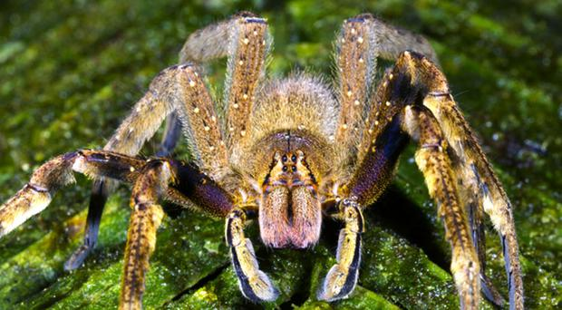 Known for hiding among the leaves of banana plants across South and Central America, the extremely aggressive Brazilian wandering spider harbours a venom