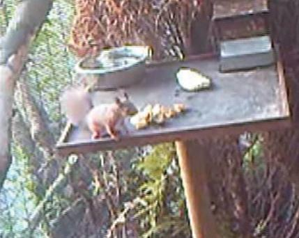 Belfast Zoo is celebrating a conservation first for Northern Ireland with the first captive breeding of a red squirrel. This image was captured on camera traps within the enclosure