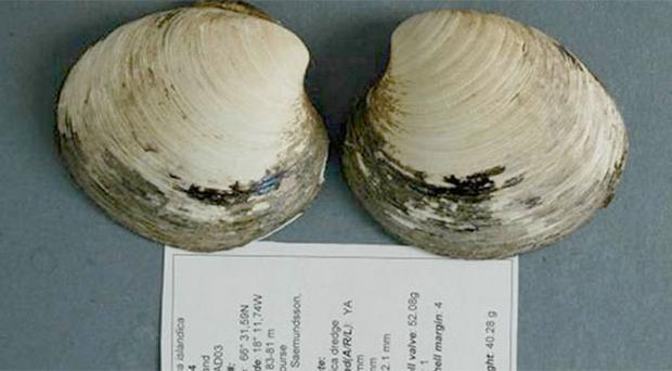 This is the only picture of the ocean quahog Ming – the longest-lived non-colonial animal so far reported whose age at death can be accurately determined. After the photo was captured in 2007, the shells were separated to allow accurate determination of the animal's age. (Photo: Bangor University)