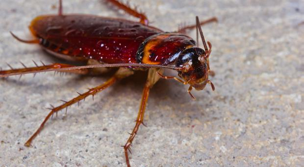 Doctor pulls 2cm long cockroach from man's ear after it crawled in while he slept