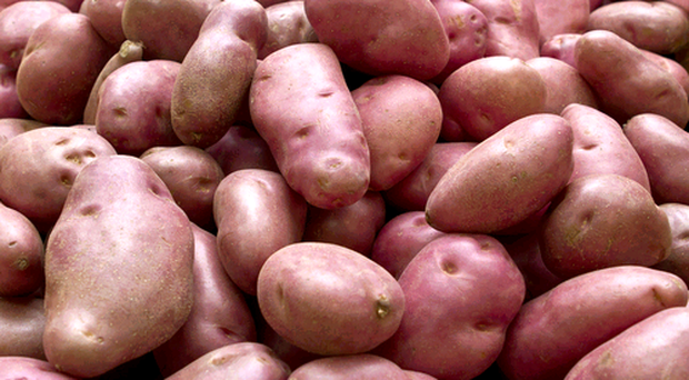 The GM variety of Desiree potatoes are resistant to late blight
