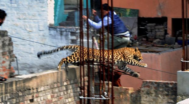 An Indian man moves out of the way of a leopard in the northern Indian city of Meerut, India