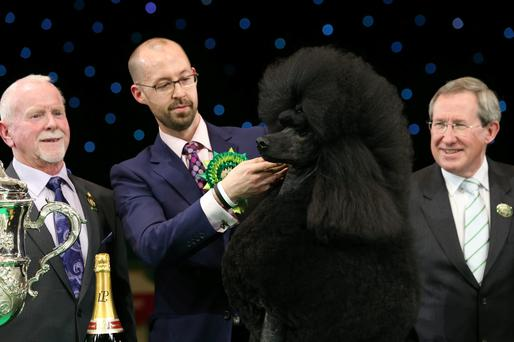 Jason Lynn runs Ricky the Standard Poodle, as they celebrate winning the Best in Show category of Crufts 2013 during the final day at Crufts Dog Show on March 9, 2014 in Birmingham, England. (Photo by Matt Cardy/Getty Images)