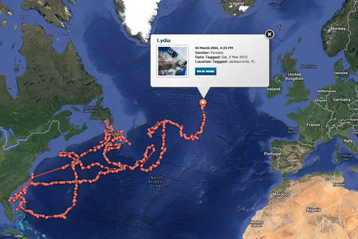A satellite track shows the great white shark has passed the mid-Atlantic ridge and is travelling in the direction of Ireland. Graphic: www.ocearch.org