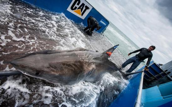 Great white shark Lydia was first tagged off the coast of Jacksonville, Florida, in March 2013 as part of the Ocearch scientific project.