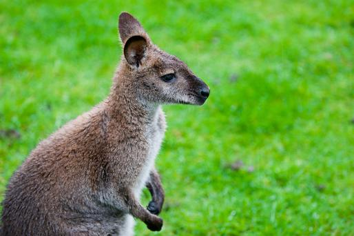 Wallabies have powerful hind legs that can administer vigorous kicks to potential predators.
