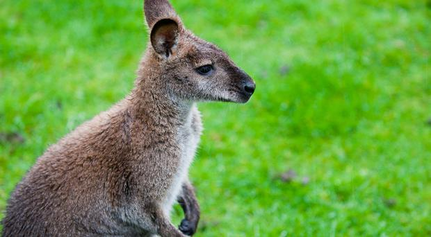 Escaped wallaby and baby joey missing in Co Down are found dead