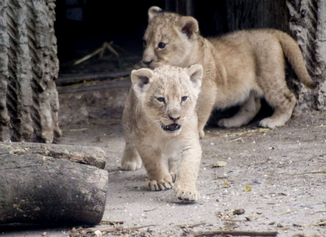 A photo from July 2013 shows new lion cubs entering the enclosure for the first time at Copenhagen Zoo, where four healthy lions have been put down.
