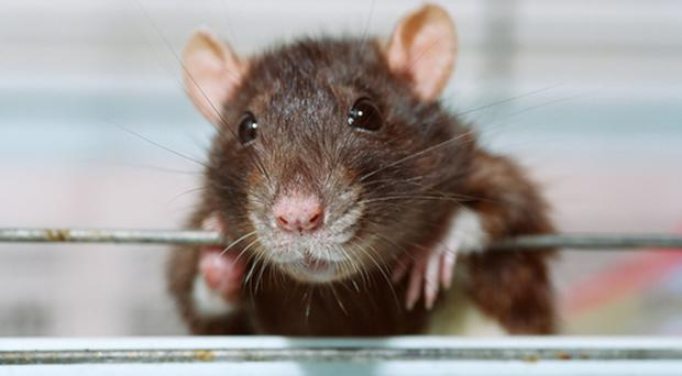 Birmingham is being overrun by 'unbelievably big and heavy' rats