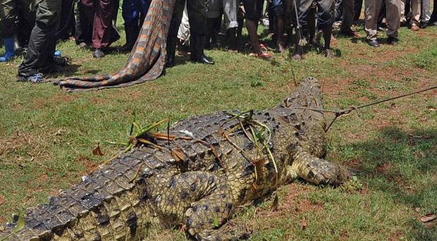 The giant crocodile was captured by the Uganda Wildlife Authority after a four-day hunt