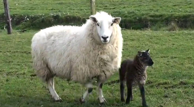 The 'geep', a goat-sheep hybrid, had longer legs than the other lambs
