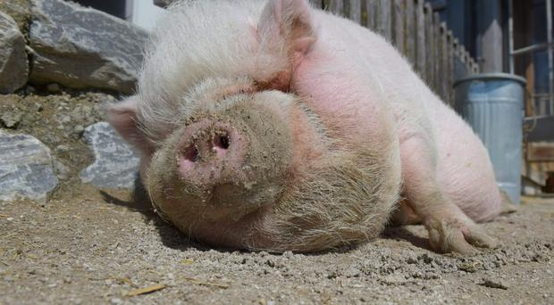 This is the first time a case of MRSA in pigs has been reported in the UK