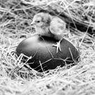 This is one way to stake a claim on a giant-sized Easter egg, this day-old Rhode Island bantam was one of the many hatched at Belfast Zoo, and now officials are waiting patiently to see whay appears from this emu egg. 6/4/1982