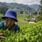 A woman picks tea leaves at the Moriuchi Tea Farm on May 1, 2014 in Shizuoka, Japan. Japan produces aproximately 100,000 tons of green tea per year. From late April to early May, tea farmers handpick Shincha (the first tea of the year) which is usually considered the highest of quality and most sought after. Shizuoka is internationally known as one of the best places for genuine Japanese green tea, producing 45% of Japan's overall tea production. (Photo by Chris McGrath/Getty Images)