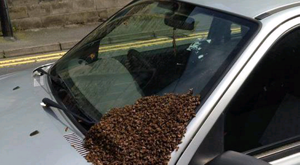 A swarm of bees rests on a car windscreen near Hamilton Road Presbyterian Church