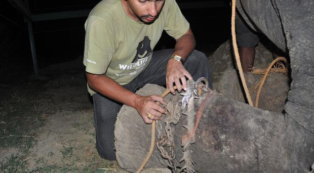 Vets worked for 45 minutes to remove the chains and spikes that had dug into the elephant's leg. Photo: Press People
