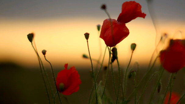 Wild poppies grow on the verge of a Flanders field near Tyne Cot Military Cemetery as dawn breaks on the centenary of the Great War on August 4, 2014 in Passchendaele, Belgium - the 100th anniversary of Great Britain declaring war on Germany. (Photo by Christopher Furlong/Getty Images)