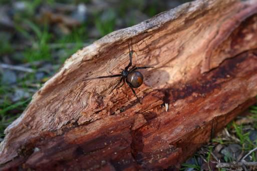 It is believed the spider was a 'poisonous red-back' which is native to Australia