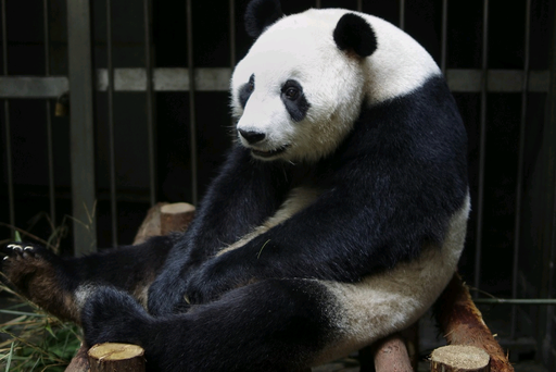 Giant panda Ai Hin sitting in her enclosure in July at the Chengdu Giant Panda Breeding Research Centre