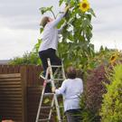 New heights: The giant sunflower grown by Mavis Garvin is measured by her daughters
