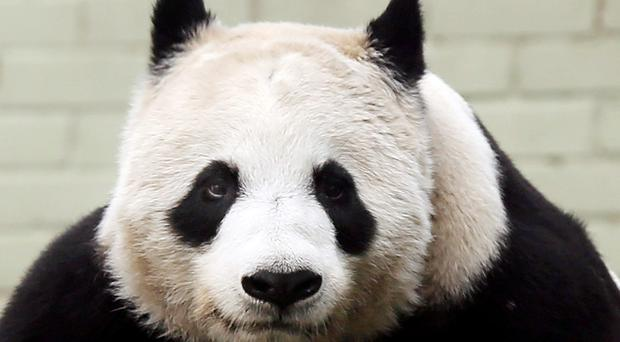 There had been fears earlier this month over complications in the pregnancy of Edinburgh Zoo's Tian Tian