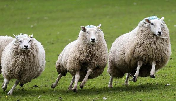 A 3 mph speed limit has been imposed on vehicles operating on wind farm project to stop sheep being scared