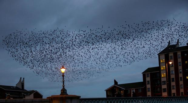 Starlings circling over the Albert Bridge in Belfast as darkness defends upon the city. Pic Kevin Scott