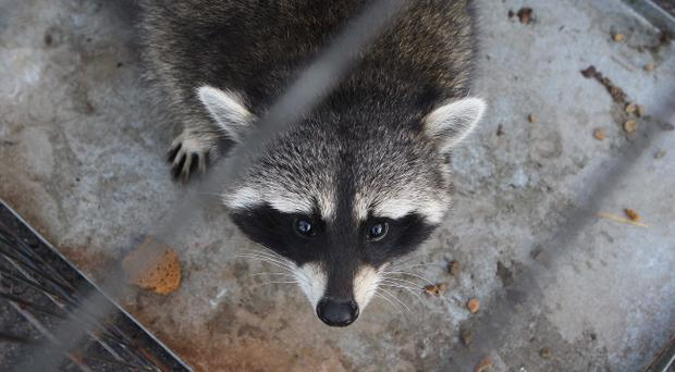 Rab the Racoon who went missing in Ballymen. Pic Steven McAuley