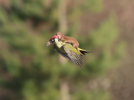 The original picture which has gone viral of a weasel riding a woodpecker. Pic Martin Le-May