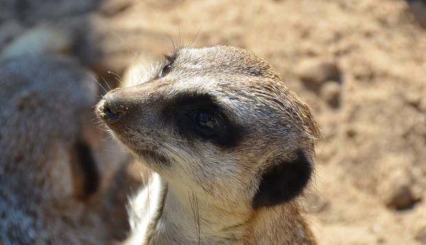 'Lifecasting' app allows users to provide live shots of their lives, and chat to followers while they do it. Above: A meerkat at Belfast Zoo. Photo by Gary Fennelly