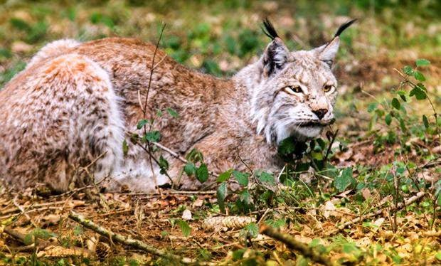 Lynx eat deer, rabbits and hares among other animals but are not considered a risk to people