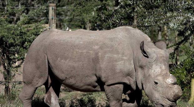 One of the northern white rhinos homed in the sanctuary