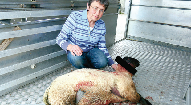 Roberta McMullan with one of her lambs that has had its ear cut off before suffering a heart attack and dying on the Battleford Road in Armagh