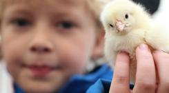 Balmoral Show - Kameron Hanna from Kilkeel holds a chick Photo by Andrew Paton/Presseye.com