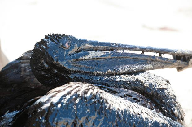 A pelican covered in oil sits on a beach about a mile west of Refugio State Beach, Calif., Wednesday, May 20, 2015.(Kenneth Song/The News-Press via AP)