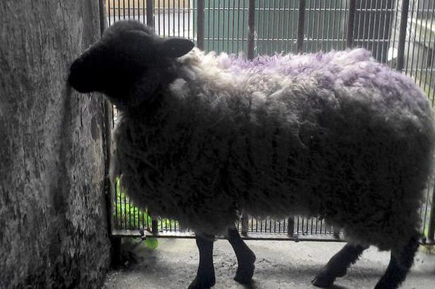 A woolly story: Ewe wouldnt believe what was found in the Oliver Bond flats