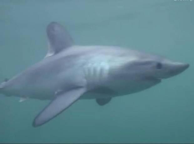 Porbeagle sharks are potentially dangerous to humans but very rarely attack