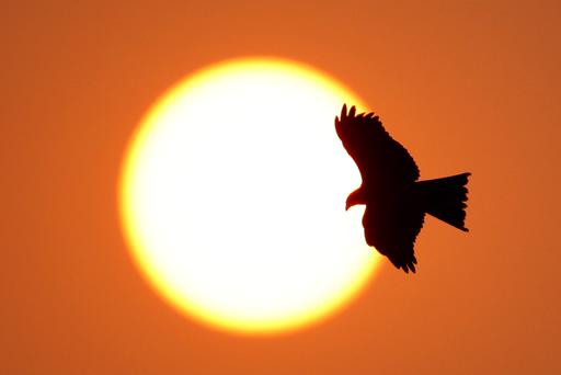 A bird of prey flies overhead at sunset at the Major Dhyan Chand National Stadium in Delhi, India. (Photo by Matt King/Getty Images)
