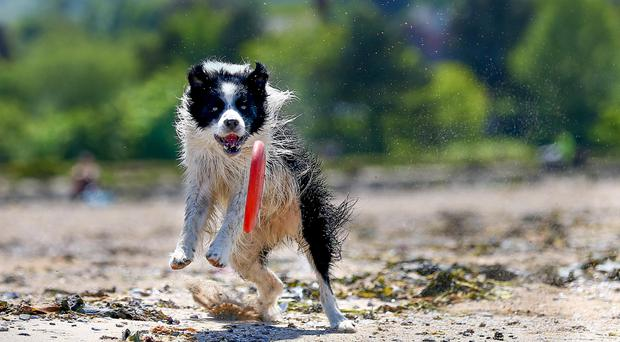 Wednesday 10th June 2015 Pictured is Roscoe chasing a Frisbee down the beach during the warm weather at Seapark in co Down Picture - Kevin Scott / Belfast Telegraph