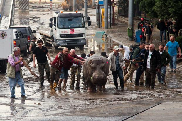 People help a hippopotamus escape from a flooded zoo in Tbilisi, Georgia, Sunday, June 14, 2015. (AP Photo/Tinatin Kiguradze)
