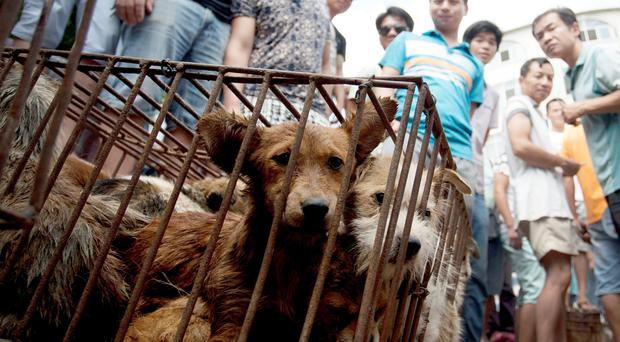 In this Sunday, June 21, 2015 photo, dogs in cages are sold by vendors at a market during a dog meat festival in Yulin in south China's Guangxi Zhuang Autonomous Region. Restaurateurs in a southern Chinese town are holding an annual dog meat festival despite international criticism. (Chinatopix via AP)