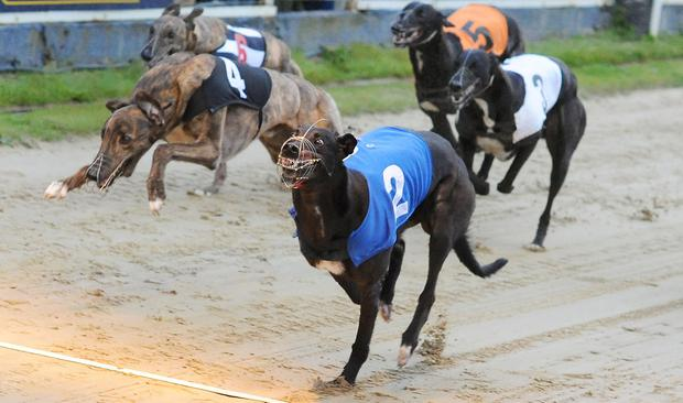 Front runner: Farloe Blitz (2) is aiming to win a £250,000 bonanza in the William Hill Greyhound Derby