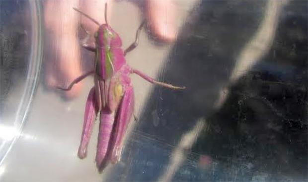 Pink grasshopper in Belfast. Photograph by Suzanne Belshaw