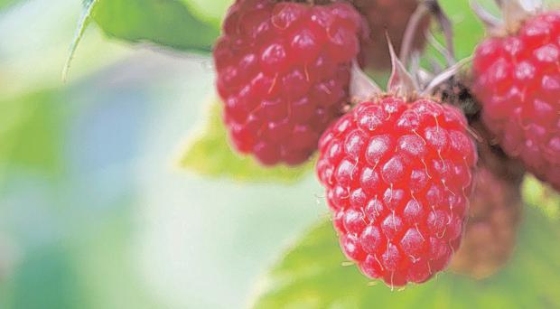 Fantastic fruit: Delicious autumn-fruiting raspberries